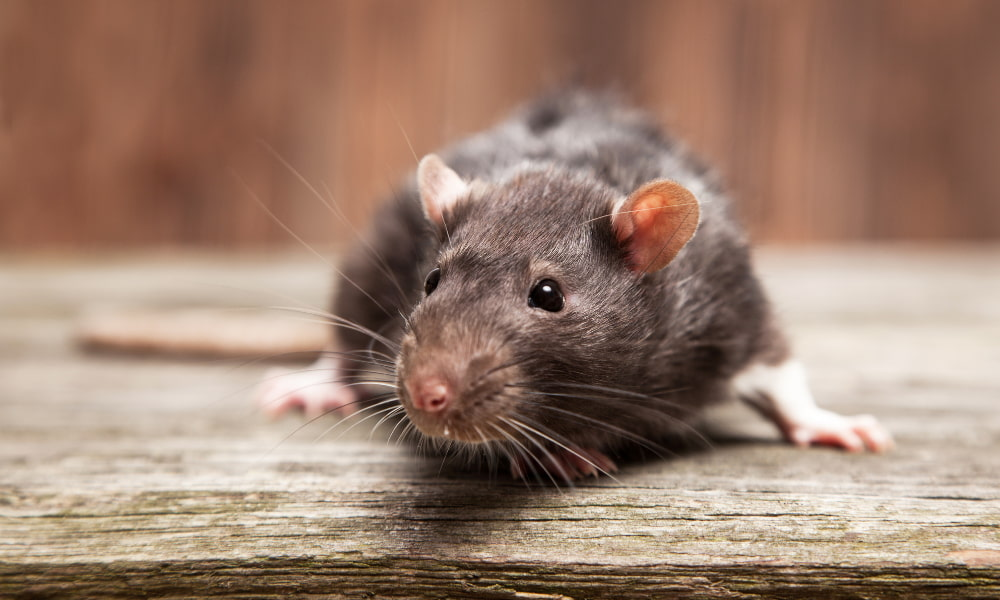 mice in crawl space infestation