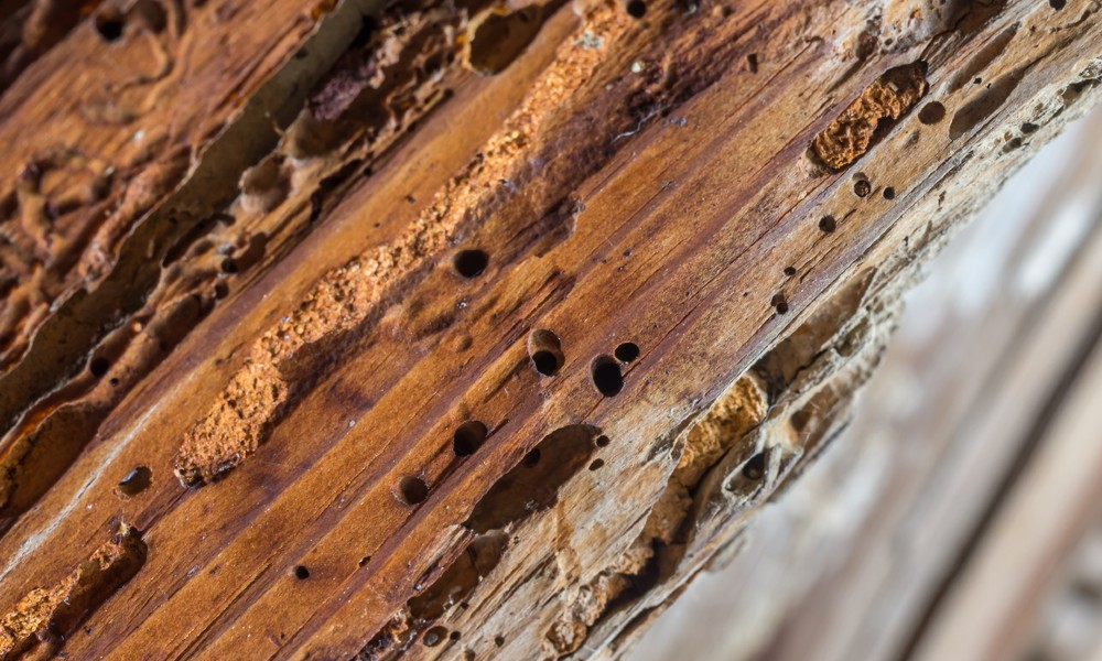A piece of wood is full of holes and rot, which is the sign of a damaged floor joist.